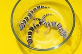 Baby Leopard Geckos In A Glass Container — Stock Photo