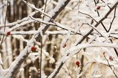 Red Berries On Snow Covered Branches — Stock Photo