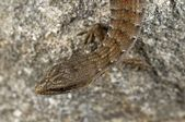 A Juvenile San Diego Alligator Lizard, (Elgaria Multicarinata Webbii), California, USA. Lizard Sitting On A Boulder — Foto de Stock
