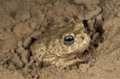 An Endangered Arroyo Toad (Bufo Californicus), California, USA. Toad Burying Itself — Stock Photo