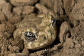 An Endangered Arroyo Toad (Bufo Californicus) Burying Itself — Stock Photo