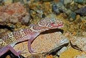 A Texas Banded Gecko (Coleonyx Brevis) Cleaning Its Eye — Stock Photo