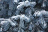 Blue Spruce Branches Covered In Snow — Stock Photo