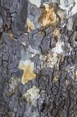 The Bark Of A Western Sycamore Tree — Stock Photo
