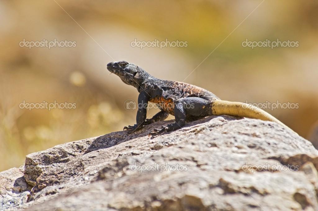 Iguanidae Chuckwalla Iguanidae
