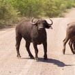 Buffalo On The Road — Stock Photo