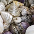 Close-up Shells — Stock Photo
