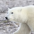 A Polar Bear — Stock Photo