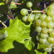 Grapes On The Vine — Stock Photo #31802609