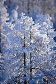 Snow Covered Treetops, Canada — Stock Photo