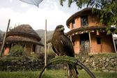 A Black Kite (Milvus Migrans) Used For Falconry And Parahawking In Pokhara, Nepal, Asia — Stock Photo