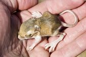 A Baby Chisel-Toothed Kangaroo Rat (Dipodomys Microps) Being Held In A Hand — Stock Photo