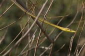 Brown Vine Snake (Oxybelis Aeneus). Snake In Twigs — Stock Photo