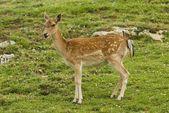 Fallow Deer — Stockfoto