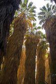 Infödda kalifornien fan palms — Stockfoto