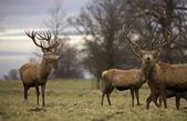 Deer standing in a field — Stock Photo