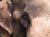 Close Up Of Elephant — Stock Photo