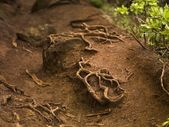 Roots, Napali Coast State Park, Kauai, Hawaii — Stock Photo