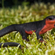 Red-Bellied Newt — Stock Photo