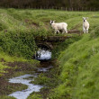 Sheep Crossing A Small Bridge, Northumberland, England — Stock Photo