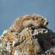Olympic Marmot (Marmota Olympus) — Stock Photo