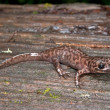 California Giant Salamander (Dicamptodon Ensatus) — Stock Photo