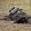Vulture Eating — Stock Photo #31933387