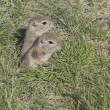 Two Gophers Coming Out Of Their Hole — Stock Photo