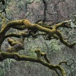 Stock Photo: Moss Covered Limbs Of Oak Tree In Chaparral-Oak Woodland