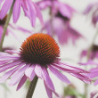 Echinacea (Echinacea Pallida) Flowers — Stock Photo