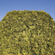 Stock Photo: Trimmed Cedar Hedge
