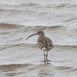 Curlew (Numenius) Wading In The Shallow Water — Stock Photo