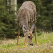 Mule Deer (Odocoileus Hemionus) Grazing — Stock Photo