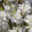 Bumble Bee On Crab Apple Blossoms — Stock Photo