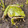 Stock Photo: Pacific Treefrog (Pseudacris Regilla)