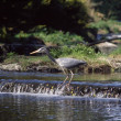 Grey Heron In Middle Of Stream, Ireland — Lizenzfreies Foto