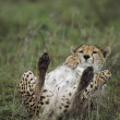 Cheetah Lying On Its Back, Africa — Stock Photo