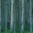 Stock Photo: Aspen Trees In Jasper Forest