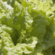 Lettuce Leaves In The Garden — Stock Photo