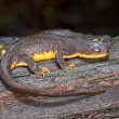 Rough-Skinned Newt (Taricha Granulosa) — Stock Photo