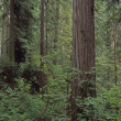 Verdant Undergrowth, Redwood Forest — Stock Photo #31936023