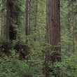 Stock Photo: Verdant Undergrowth, Redwood Forest