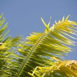 Palm Tree Leaves. Maui, Hawaii — Stock Photo