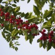 Red Berries On A Tree — Stock Photo