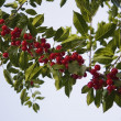 Stock Photo: Red Berries On Tree