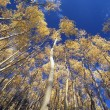 Quaking Aspens In Autumn, Santa Fe National Forest, New Mexico, Usa — Stock Photo