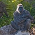 Western Lowland Gorilla, Los Angeles Zoo, California, Usa — Stock Photo