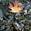 Maple Leaf On The Beach — Stock Photo