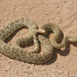 Rattlesnake — Stock Photo #31937543
