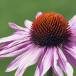 Echinacea Flower (Echinacea Pallida) — Stock Photo